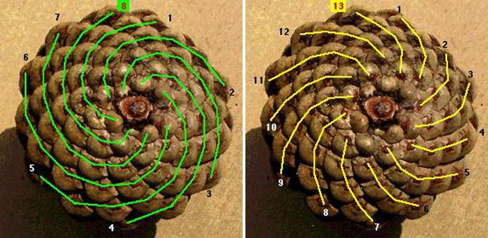 Lesson_Fibonacci-pinecones